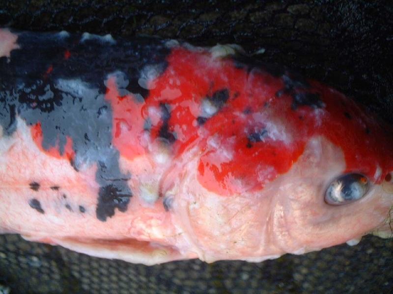 Gambar Penyakit Ikan Lele dan Nila