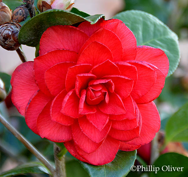 Dirt therapy april bloom day for Camelia rossa