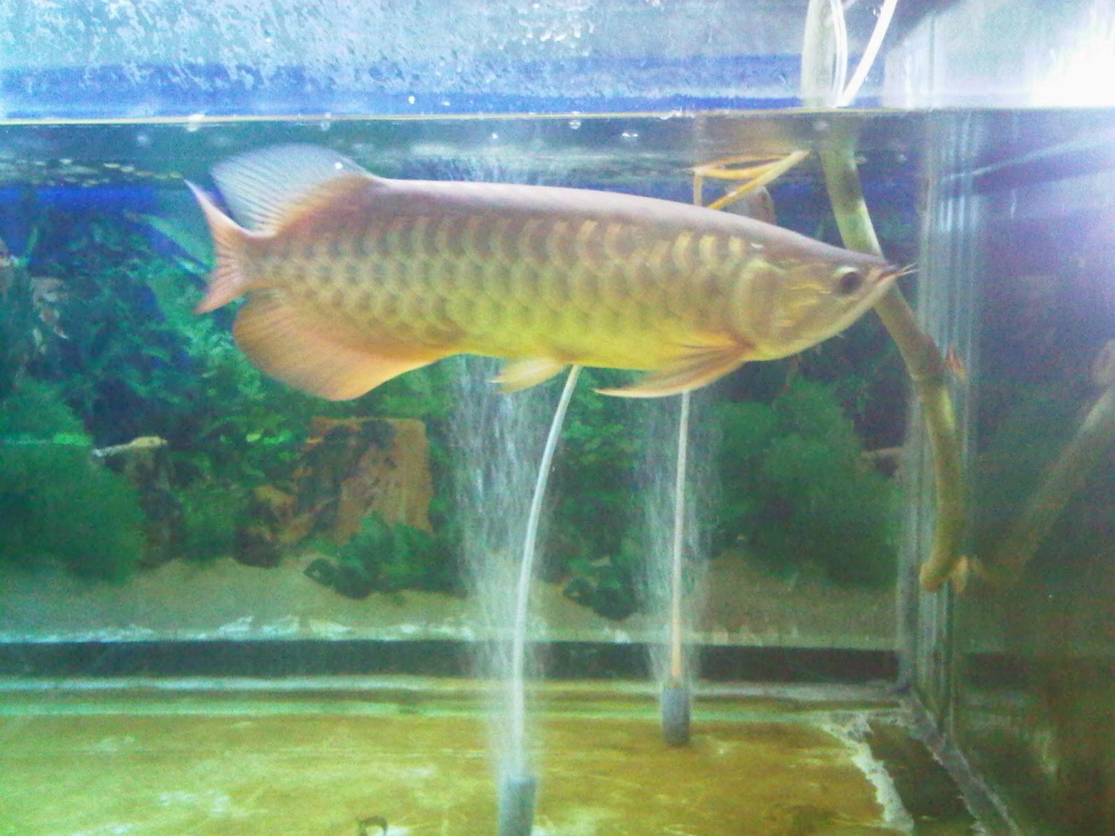ARWANA FISH DEPOK: Desember 2013