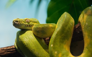 Wallpaper: Beautiful Reptile. Green Python