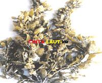 seaweed sargasum