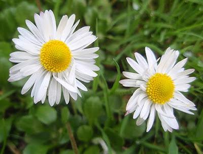 Margarita (Bellis perennis)flor silvestre blanca