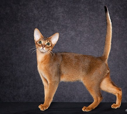Abyssinian Cat Breeders