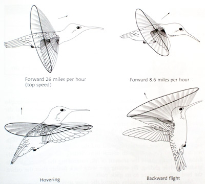bird flight diagram acravan: ornicopia 11: are hummingbirds the only birds ... moon flight diagram