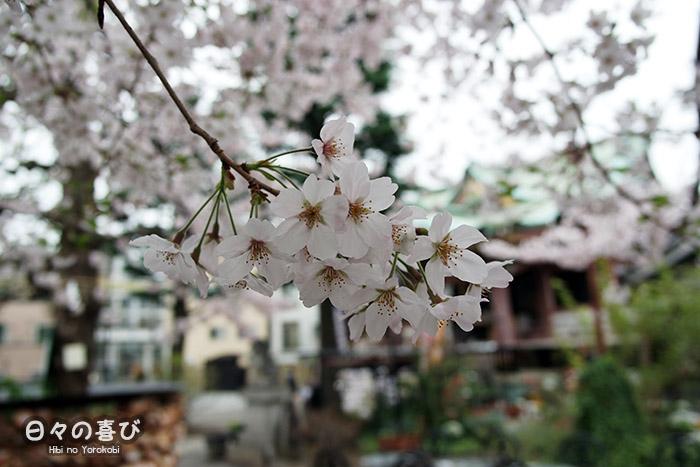 focus fleur de sakura blanche japon