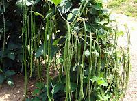Какие грибы можно выращивать в саду если нет берез?