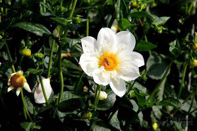 Blumengärten Insel Mainau, Bodensee Blume mit Biene