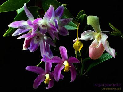 Mix de Orquídeas no Apê