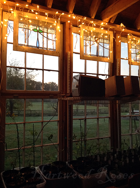 Hartwood Roses: Sunday Snapshot: Lights in the Greenhouse