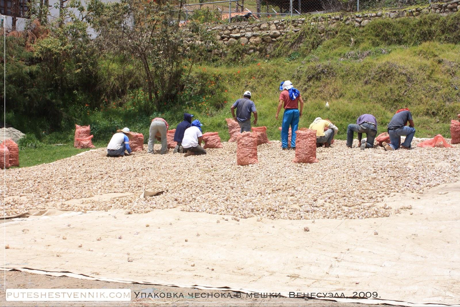 Венесуэльцы упаковывают чеснок в мешки