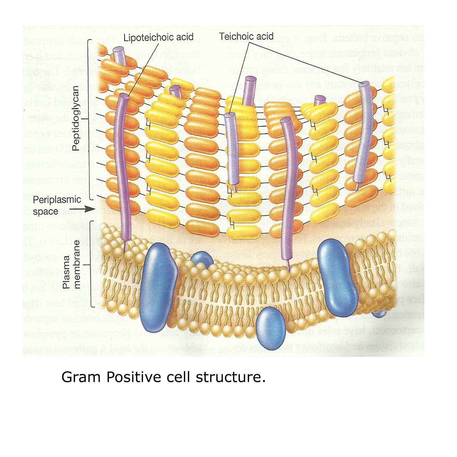 Gram Positive Cell Wall Diagram Cuts Of Beef Chart Sharemicro Different Structure