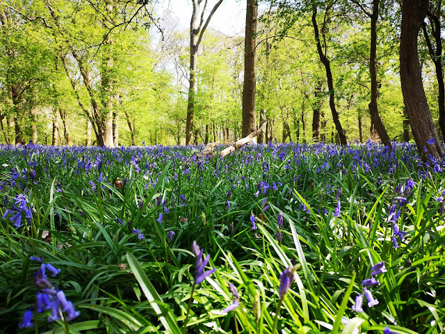 Bluebells at eye view