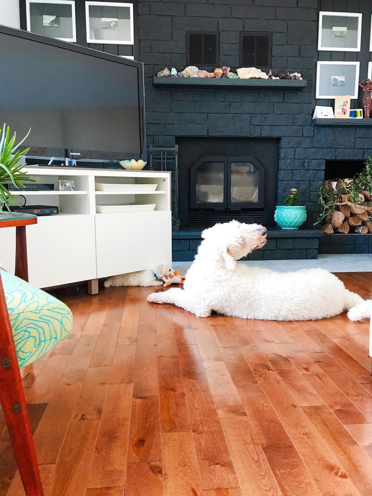 Bichon Frise Puppy with Komondor