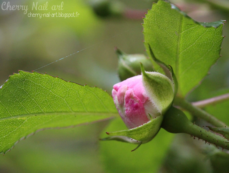 Bouton de petite rose macro
