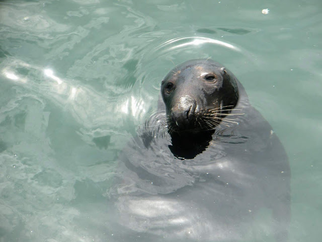 Travel Ireland by Rail from Dublin: Seal in Howth Ireland