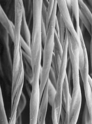 Figure 3 Convoluted Cotton Fibres