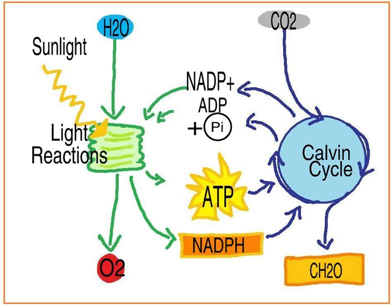 Biologi gonzaga metabolisme sel ana dan katabolisme bila dalam suatu reaksi memerlukan energi dalam bentuk panas reaksinya disebut reaksi endergonik reaksi semacam itu disebut juga reaksi endoterm ccuart Choice Image
