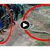 Amazing Video Caught Big King Cobra