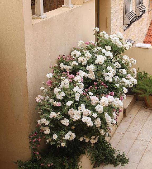 rosal en jardinera