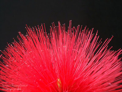 Calliandra tweedii