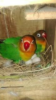 Cara beternak Lovebird berhasil dan mudah