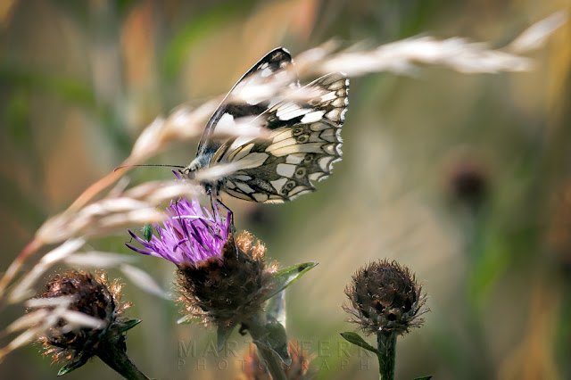Barnack Hills & Holes Nature Reserve image of a marbled white