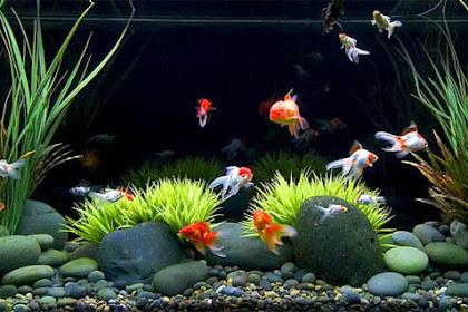 Tips Memulai Memelihara Ikan Hias di Akuarium Bagi Pemula
