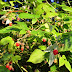 Health benefits and Usages of Red Raspberry