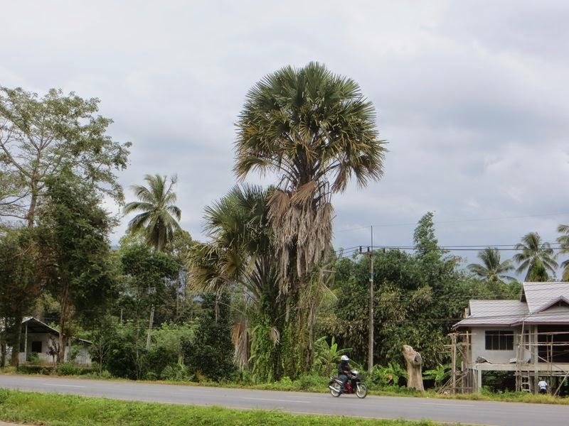 Супер пальма Таиланд