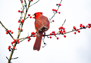 male cardinal on winterberry