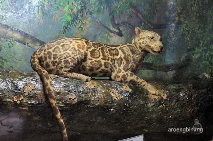 macan dahan museum zoologi bogor
