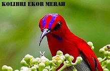 www.suarakicau.com