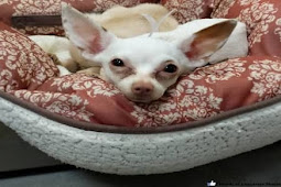 Terrified chi surrendered with her beloved bed and all toy, openly wept as her owner walked away