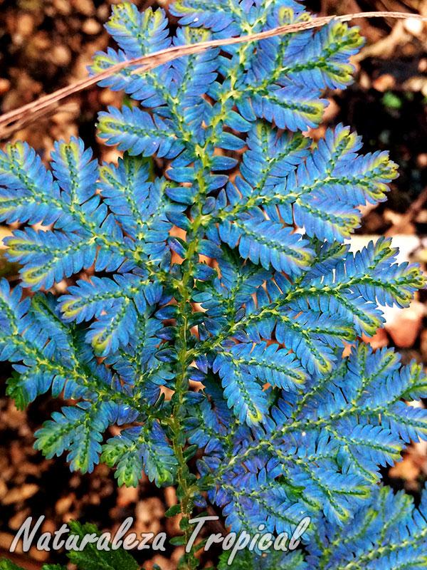 Detalles de las hojas del Helecho Azul, Selaginella willdenowii