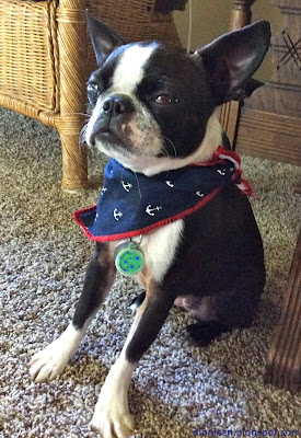 angry Boston terrier
