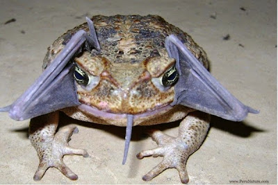 Surprising Photo: Toad Eats Bat | Source : http://voices.nationalgeographic.com/2013/09/25/surprising-photo-toad-eats-bat/