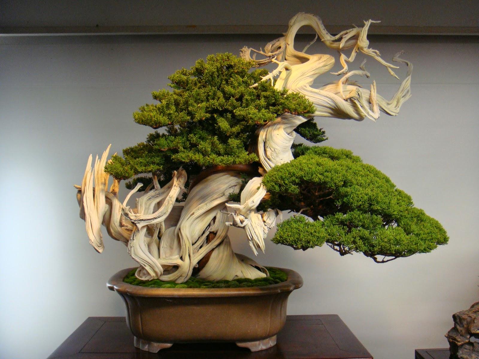 Eis aqui uma árvore Bonsai de 800 anos!