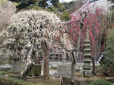 常立寺の梅