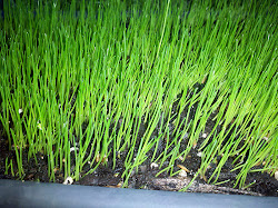 Jonathan Green Black Beauty grass growing in a container