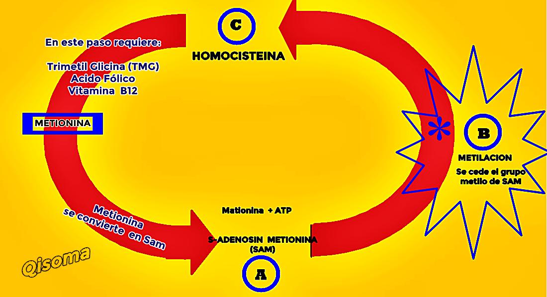 ciclo-de-metilacion