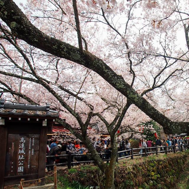 高遠城址公園 桜