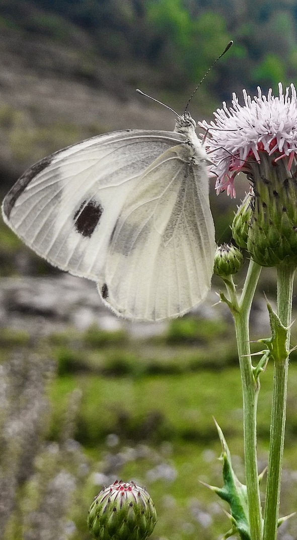 A cabbage white butterfly.