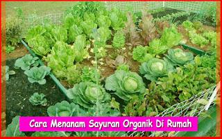 Cara Menanam Sayuran Organik Di Rumah