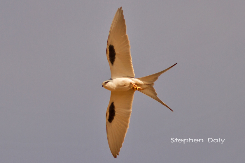 African Swallow tailed Kite w3757