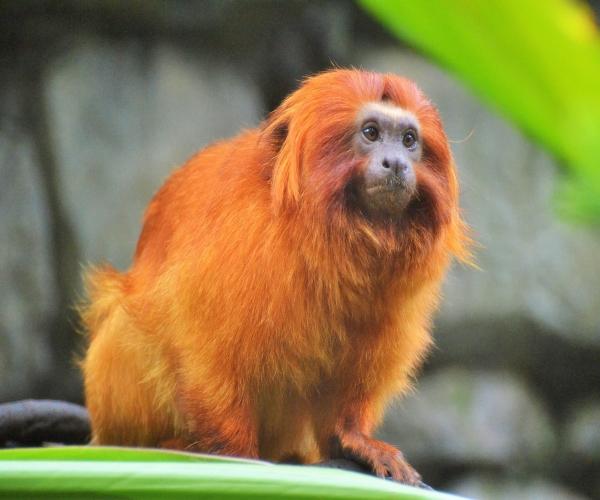 mico-leão-dourado-Leontopithecus-rosalia