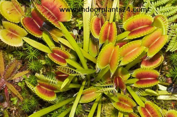 Dionaea Muscipula idoor plant potted