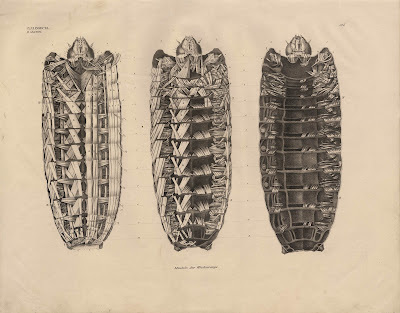 Prints and Principles: Anatomy of a caterpillar\'s muscles