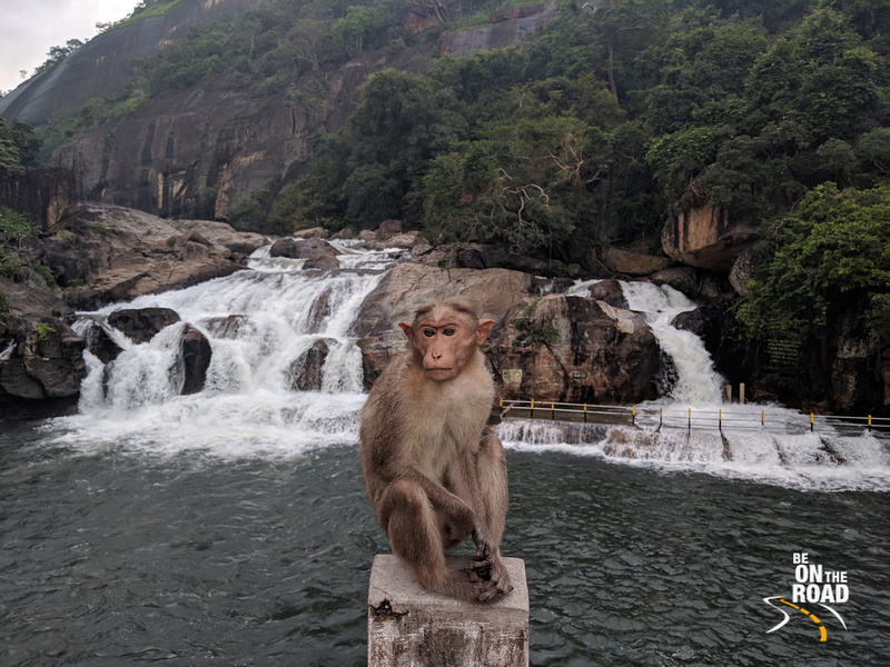 Bonnet Macaque poses in front of Manimuthar falls, Tamil Nadu
