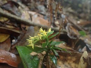 ヤクシマラン、屋久島の植物
