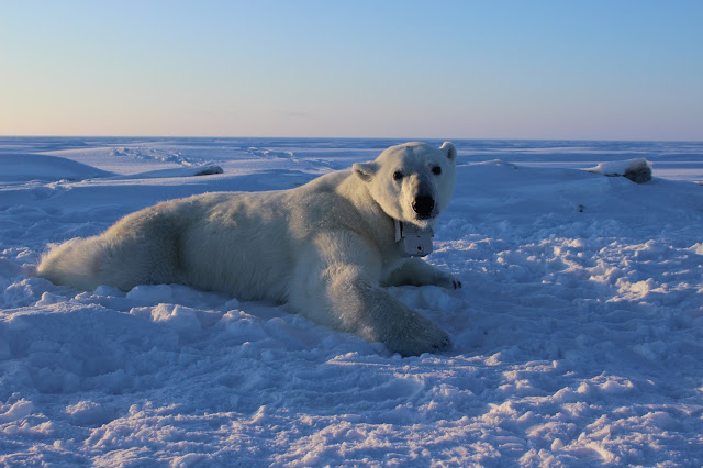 Polar bears finding it harder to catch enough seals to meet energy demands